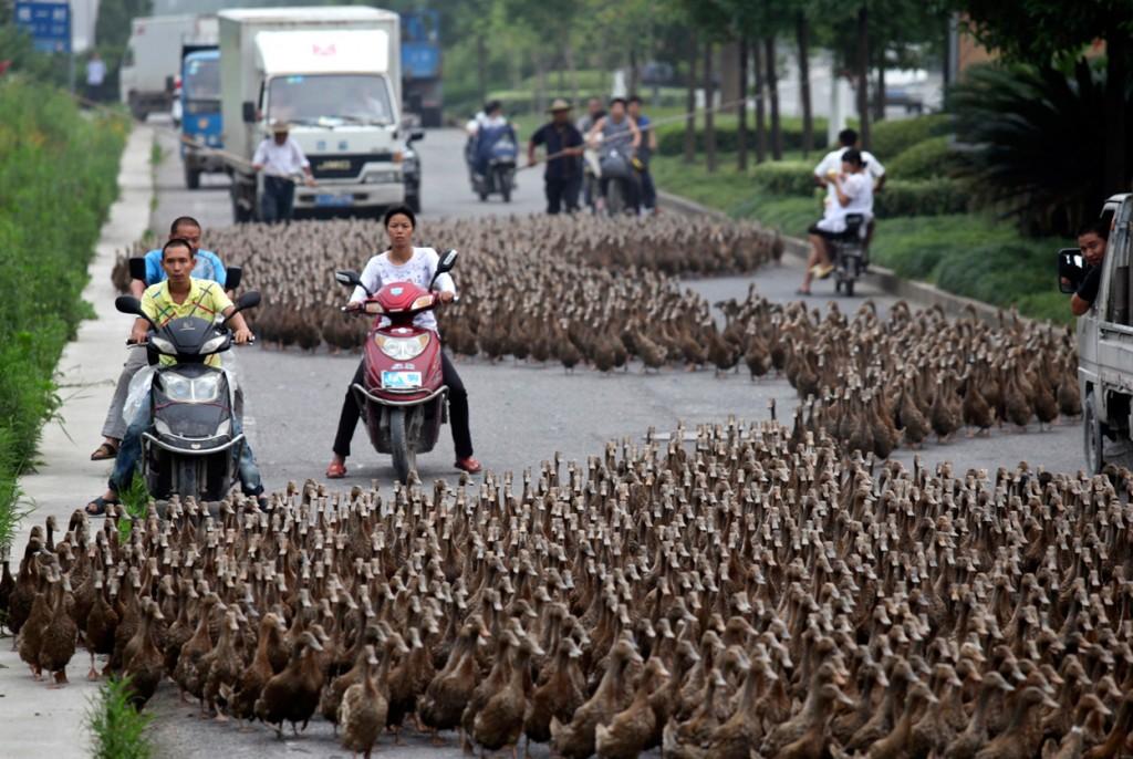 patos en la calle